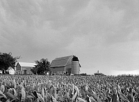 0119400 © Granger - Historical Picture ArchiveWISCONSIN: TOBACCO, 1941.   Tobacco farm in Columbia County, Wisconsin. Photograph by John Vachon in August 1941.