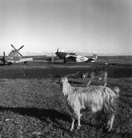 0167374 © Granger - Historical Picture ArchiveWORLD WAR II: AIRFIELD.   Goats on the runway at an airfield in Ramitelli, Italy. Photograph by Toni Frissell, March 1945.