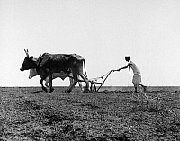 0094292 © Granger - Historical Picture ArchiveSUDAN: COTTON FIELDS.   Sudanese farmer plowing cotton fields in the traditional manner near Khartoum. Photographed 1958.