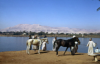 0129874 © Granger - Historical Picture ArchiveEGYPT: NILE SCENE.   Horses with a group of men beside the Nile River in Egypt. Photographd c1975.