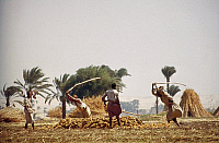 0132873 © Granger - Historical Picture ArchiveEGYPT: FARMING.   Men threshing grain in a field in Egypt. Photographed by Eliot Elisofon, 1965.