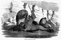 0094822 © Granger - Historical Picture ArchiveFALKLAND ISLANDS, 1856.   Sea Lions on the Falkland Islands. Wood engraving, 1856.