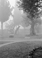 0118514 © Granger - Historical Picture ArchiveGARDEN OF GETHSEMANE.   The Garden of Gethsemane covered in fog, East Jerusalem. Photograph, c1943.