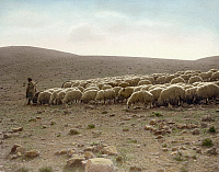 0130804 © Granger - Historical Picture ArchiveSHEPHERD AND FLOCK, c1919.   A shepherd leading his flock, near Jerusalem. Hand-colored photograph, c1919.