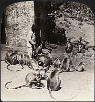 0323212 © Granger - Historical Picture ArchiveINDIA: MONKEYS, c1907.   'Feeding the sacred monkeys at Benares, India.' Stereograph, c1907.