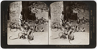 0323213 © Granger - Historical Picture ArchiveINDIA: MONKEYS, c1907.   'Feeding the sacred monkeys at Benares, India.' Stereograph, c1907.