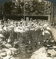 0323232 © Granger - Historical Picture ArchiveINDIA: FLAMINGOS, c1907.   'Beautiful Indian flamingoes in the gardens of the Royal Palace, Jaipur, India.' Stereograph, c1907.