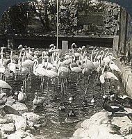 0323234 © Granger - Historical Picture ArchiveINDIA: FLAMINGOS, c1907.   'Royal birds in a royal garden, rose-red flamingoes in the Maharaja's aviary, Jaipur, India.' Stereograph, c1907.
