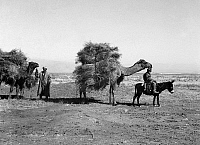 0115557 © Granger - Historical Picture ArchiveUZBEKISTAN: CARAVAN, c1910.   Camel caravan carrying weeds for animal feed in the Golodnaya Steppe region of Uzbekistan. Photograph by Sergei Prokudin-Gorskii, c1910.