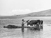 0077653 © Granger - Historical Picture ArchivePERU: NATIVE GIRL, 1961.   A native Peru girl feeding bulls with totora reeds by the shore of Lake Titicaca. Photograph, July 1961.