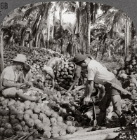 0324945 © Granger - Historical Picture ArchivePHILIPPINES: COCONUTS.   'Husking coconuts - familiar scene in the great coconut country near Pagsanhan, Island of Luzon, P.I.' Stereograph, c1910.