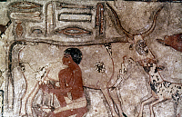 0024762 © Granger - Historical Picture ArchiveEGYPTIAN TOMB PAINTING   Man milking a cow. Tomb painting from the Mastaba of Methethi. 4th Dynasty.