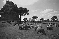 0433064 © Granger - Historical Picture ArchiveTRAVEL TO ROME.   Italy end of 1950s - sheeps flock at the Latin tombs, Via Appia Antica near Rome. Photo Erich Andres.. Full credit: United Archives / Granger, NYC -- All rights reserved.