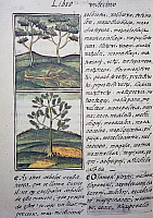 0411635 © Granger - Historical Picture ArchiveARCHAEOLOGY.    Trees, wild cypresses and firs, page from the Florentine Codex, bilingual version in Spanish and Nahuatl, General History of the Things of New Spain (Historia general de las cosas de Nueva Espana), by the Spanish missionary Fray Bernardino de Sahagun (1499-1590). Aztec civilisation, 16th century. Facsimile. Full credit: De Agostini Picture Li