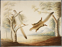0507652 © Granger - Historical Picture ArchiveBRITISH LIBRARY.   . Flying squirrels, one climbing a tree, the other leaping. Full credit: British Library / Granger, NYC -- All rights reserved.