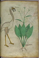 0511184 © Granger - Historical Picture ArchiveBRITISH LIBRARY.   Herbal. Botanical illustration of a plant with a flamingo-like bird. Full credit: British Library / Granger, NYC -- All rights reserved.