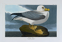 0516354 © Granger - Historical Picture ArchiveBRITISH LIBRARY.   The Birds of America, from original drawings. Fulmar petrel. male adult. Summer plumage. . Full credit: British Library / Granger, NYC -- All rights reserved.