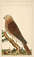 0516511 © Granger - Historical Picture ArchiveBRITISH LIBRARY.   . Kestrel (Falco spp.), inscribed 'Tinnunculus alaudarius Briss'. Full credit: British Library / Granger, NYC -- All rights reserved.