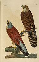 0521788 © Granger - Historical Picture ArchiveBRITISH LIBRARY.   The British Zoology. Kestrels. Full credit: British Library / Granger, NYC -- All rights reserved.