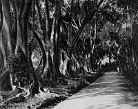 0601512 © Granger - Historical Picture ArchiveSRI LANKA.   Fig trees in Peradeniya, Central Highlands. Photograph by Ernst Heinrich Philipp August Haeckel.  Full credit: Pictures from History / Granger, NYC.
