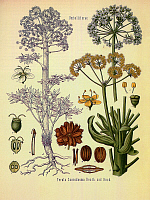 0602134 © Granger - Historical Picture ArchiveIRAN.   This illustration shows the flower, stems and roots of the asafoetida plant, species name 'Ferula scorodosma'.. Full credit: Pictures from History / Granger, NYC -- All rights reserved.