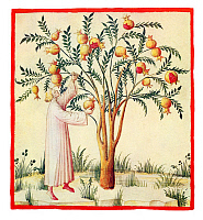 0609388 © Granger - Historical Picture ArchiveIRAQ / ITALY.   Sour Pomegranates (Granata Acetosa). Illustration from Ibn Butlan's Taqwim al-sihhah or 'Maintenance of Health' (Baghdad, 11th century) published in Italy as the Tacuinum Sanitatis in the 14th century. Full credit: Pictures from History / Granger, NYC -- All rights reserved.