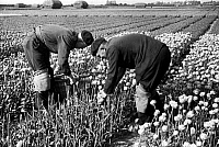 0432993 © Granger - Historical Picture ArchiveTRAVEL TO HOLL&.   Holland, part of the Netherlands - tulip fields. Image date circa 1956. Photo Erich Andres. Full credit: United Archives / Granger, NYC -- All rights reserved.