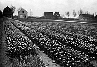 0432994 © Granger - Historical Picture ArchiveTRAVEL TO HOLL&.   Holland, part of the Netherlands - tulip field. Image date circa 1956. Photo Erich Andres. Full credit: United Archives / Granger, NYC -- All rights reserved.