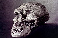 0023503 © Granger - Historical Picture ArchiveNEANDERTHAL SKULL.   Lateral view of skull of Neanderthal Man, from Dordogne.