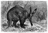 0033348 © Granger - Historical Picture ArchiveAARDVARK.   Line engraving, late 19th century.