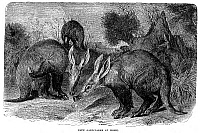 0057647 © Granger - Historical Picture ArchiveAARDVARKS.   Wood engraving, late 19th century.