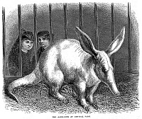 0082424 © Granger - Historical Picture ArchiveAARDVARK.   An aardvark at Central Park Zoo, New York City. Wood engraving, American, 1874.