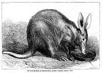 0082425 © Granger - Historical Picture ArchiveAARDVARK.   An aardvark at the zoo at Regent's Park, London. Line engraving, English, 1869.