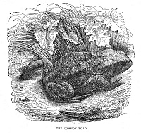 0082123 © Granger - Historical Picture ArchiveCOMMON TOAD.   Wood engraving, English, 19th century.