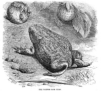 0082153 © Granger - Historical Picture ArchiveNATTER JACK TOAD.   Wood engraving, English, 19th century.