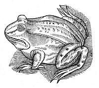 0082155 © Granger - Historical Picture ArchiveCOMMON TOAD.   Woodcut from Edward Topsell's 'The History of Four-Legged Beasts and Serpents,' London, 1658.