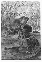 0100403 © Granger - Historical Picture ArchiveZOOLOGY: BULLFROGS.   Rana catesbiana. Line engraving, 19th century.