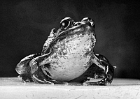 0100406 © Granger - Historical Picture ArchiveGREEN FROG.   Photographed 1942.