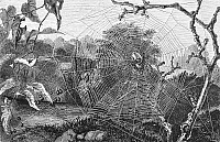 0082116 © Granger - Historical Picture ArchiveGARDEN SPIDER.   Line engraving.