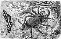 0082117 © Granger - Historical Picture ArchiveBIRD-EATING SPIDER.   South American bird-eating spider. Line engraving.