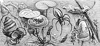 0082118 © Granger - Historical Picture ArchiveWATER SPIDERS.   Water spiders and nest. Line engraving.