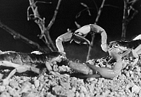0100410 © Granger - Historical Picture ArchiveSCORPIONS.   A mating pair of scorpions in the North American desert.