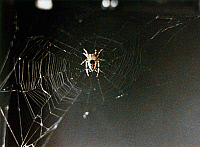 0185482 © Granger - Historical Picture ArchiveSPACE: SPIDER, 1973.   Arabella, a common cross spider, spinning a web aboard the Skylab 3 mission in 1973, as part of an experiment on web formation in a weightless environment proposed by Lexington, Massachusetts, high school student Judith Miles.