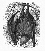 0064920 © Granger - Historical Picture ArchiveFLYING FOX, OR ROUSSETTE   (Pteropus Rubricollis).