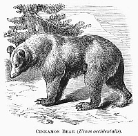0100629 © Granger - Historical Picture ArchiveCINNAMON BEAR.   Ursus occidentalis. Line engraving, 19th century.