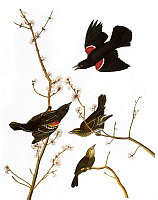 0007571 © Granger - Historical Picture ArchiveAUDUBON: BLACKBIRD.   Red-winged Blackbird (Agelaius phoeniceus), after John James Audubon for his 'Birds of America,' 1827-38.