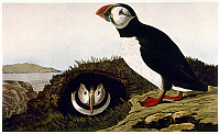 0007576 © Granger - Historical Picture ArchiveAUDUBON: PUFFIN.   Atlantic Puffin (Fratercula arctica), after John James Audubon for his 'Birds of America,' 1827-38.
