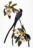 0007580 © Granger - Historical Picture ArchiveAUDUBON: FLYCATCHER.   Fork-tailed Flycatcher (Tyrannus savana, formerly Muscivora tyrannus), after John James Audubon for his 'Birds of America,' 1827-38.