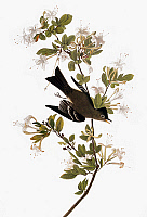 0007592 © Granger - Historical Picture ArchiveAUDUBON: PEWEE.   Eastern, or Wood, Pewee (Contopus virens), after John James Audubon for his 'Birds of America,' 1827-38.