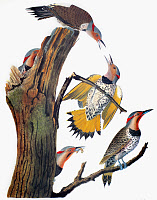 0007614 © Granger - Historical Picture ArchiveAUDUBON: FLICKER.   Common Flicker, or Golden-winged Woodpecker (Colaptes auratus), from John James Audubon's 'The Birds of America,' 1827-1838.